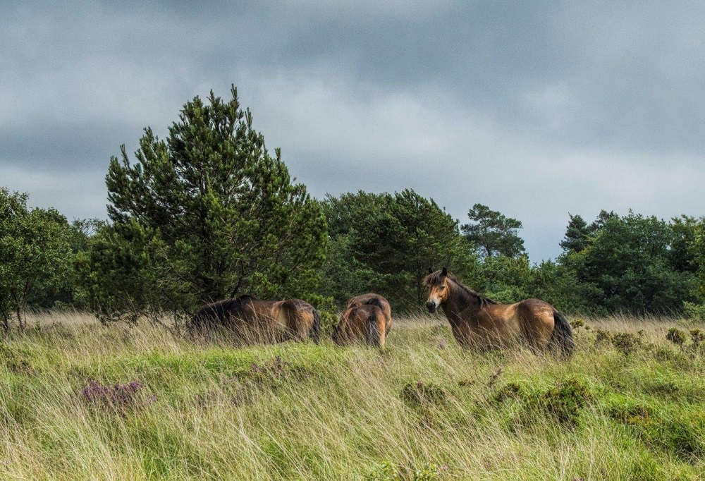 Exmoor ponies grazing at Trinity Hill, copyright Mike Townsend