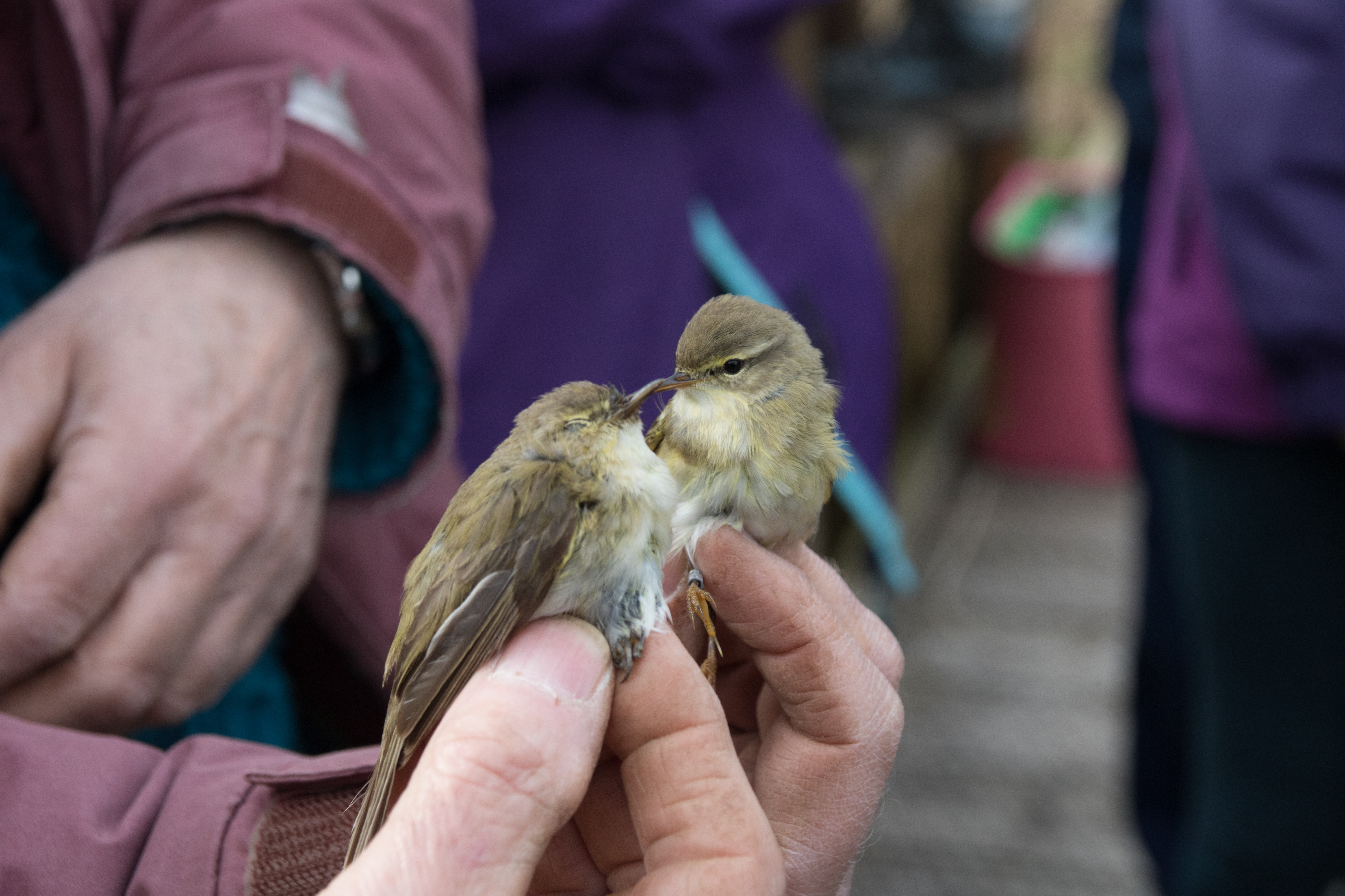 Bird ringing demonstration 16 June