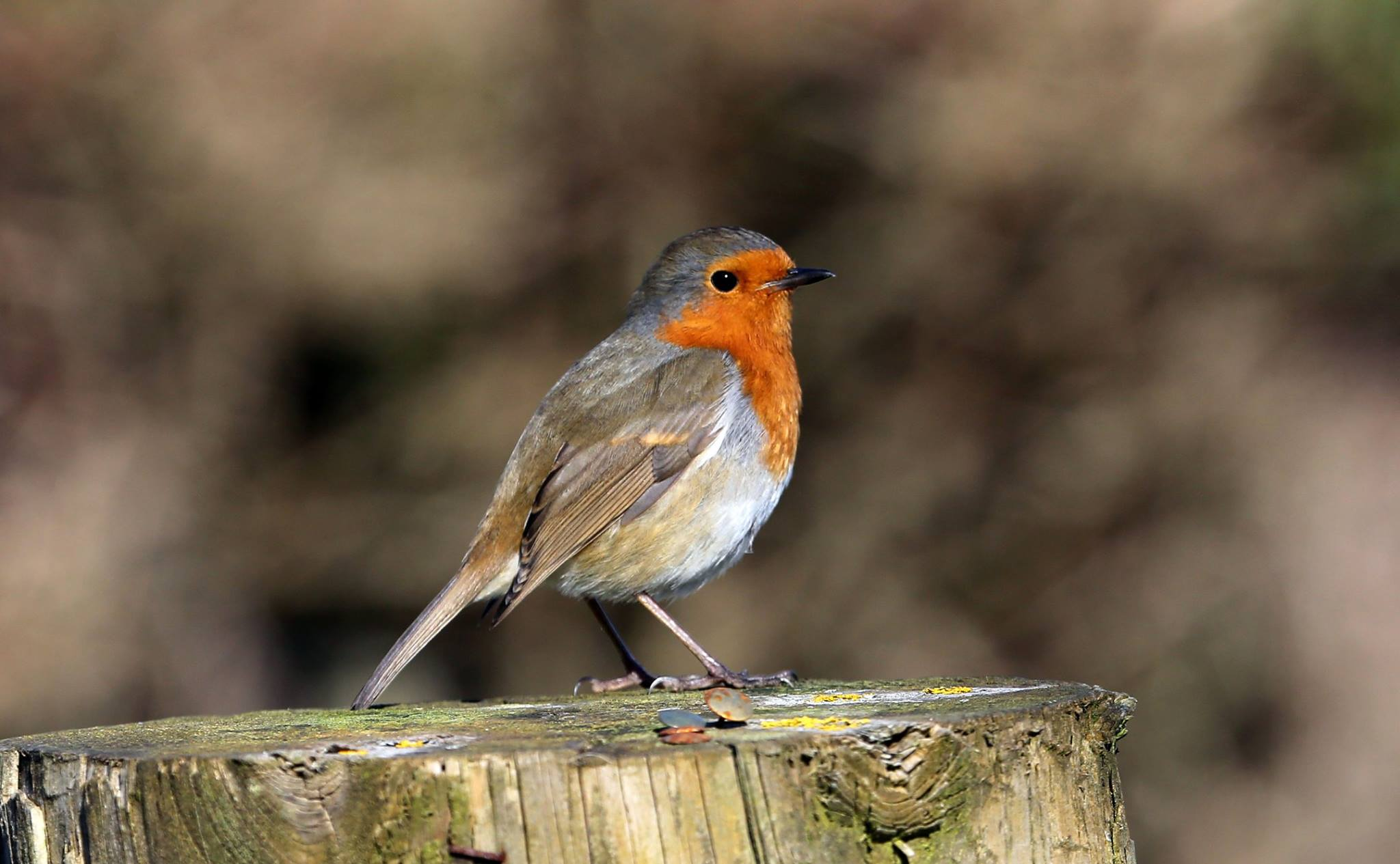 Robin at Seaton Wetlands