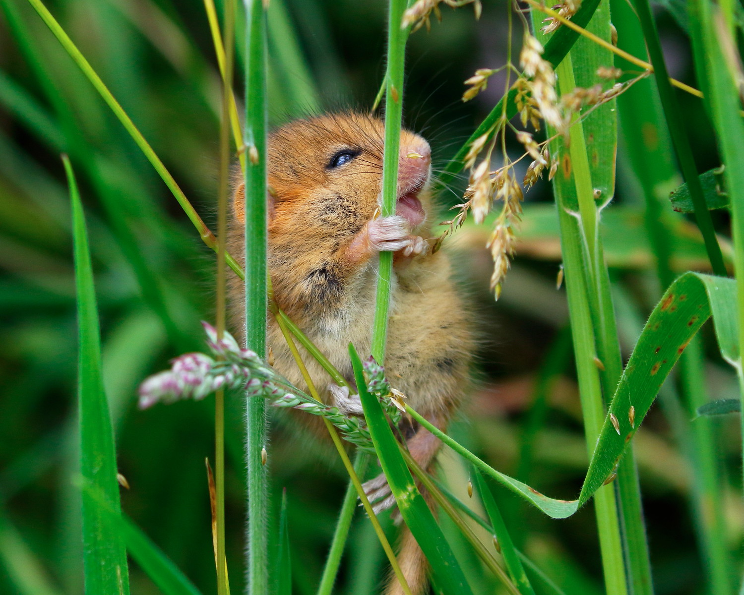 Dormice are now being officially monitored at East Devon's nature reserves. Photo by Jo King