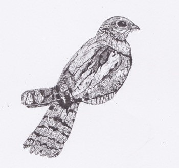 Sharing Space with Nightjars