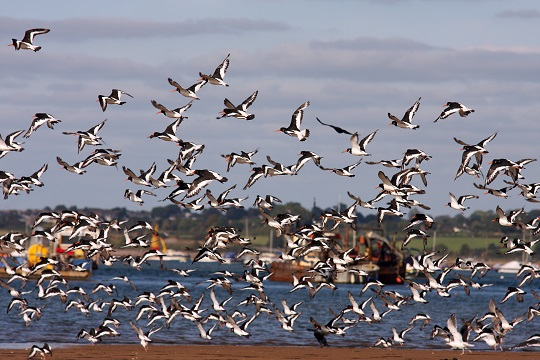 Behaviour of birds on and around the River Exe Estuary is being monitored