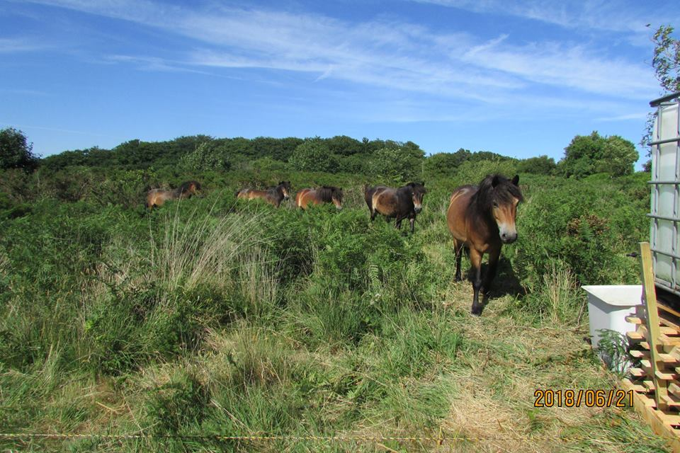 Five Exmoor ponies at Trinity Hill Local Nature Reserve