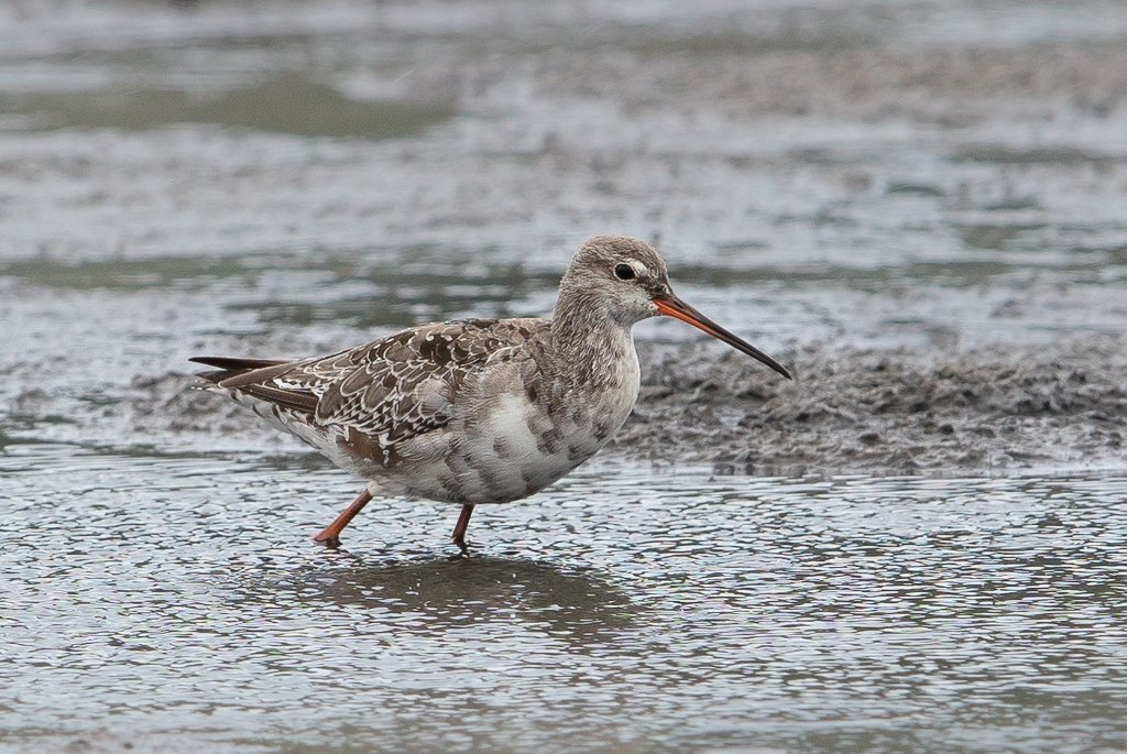 Spotted Redshank, credit Tim White