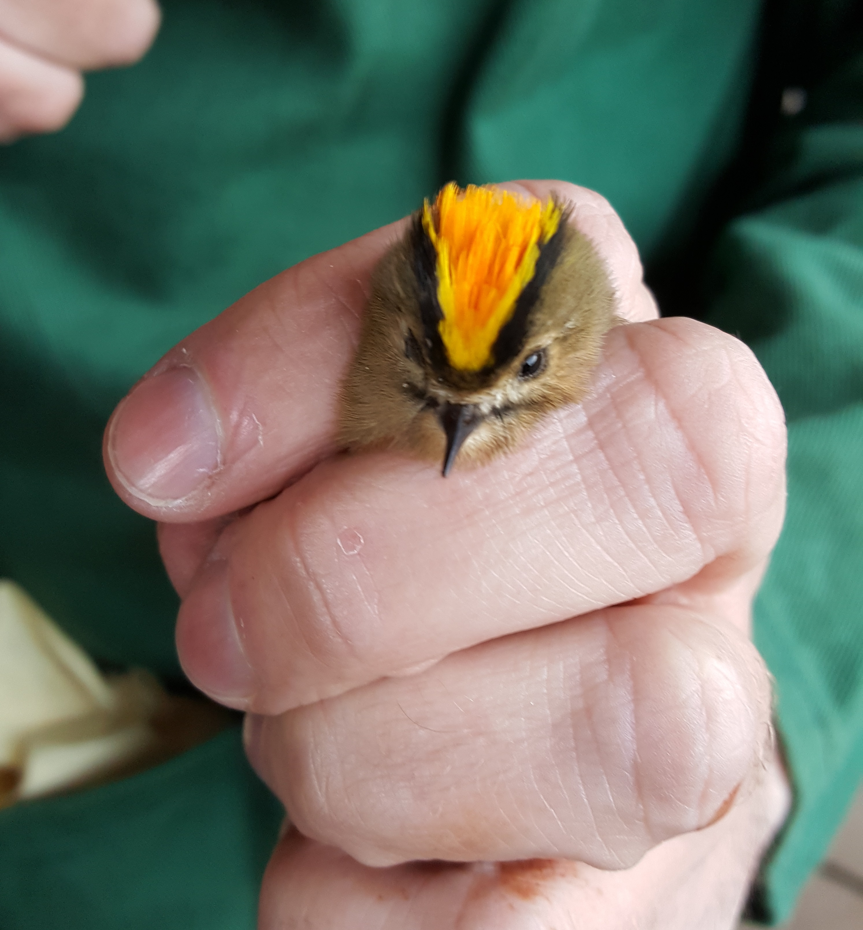 Bird ringing demonstration (Weds 26 June)