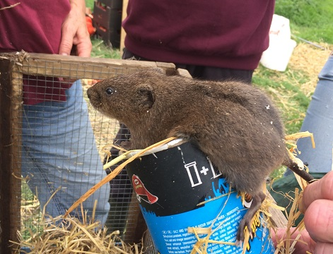 One of the water voles released at Seaton Wetlands