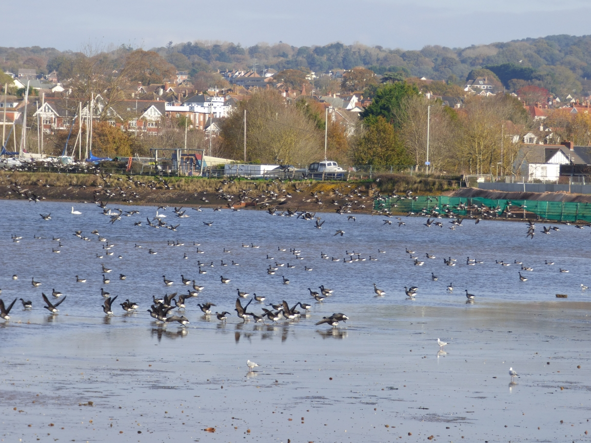 hundreds of wild birds at Exmouth Duckpond